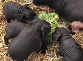 One boy baby skinny pig for sale