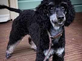 Cavapoos off health tested parents available 25th Sept
