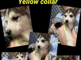 Chunky Siberian Husky x Alaskan Malamute pups