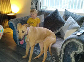 14 month old male lurcher