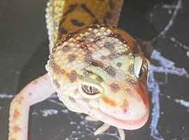 Cute male leopard gecko #2