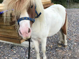 Mini stallion broken to ride and drive