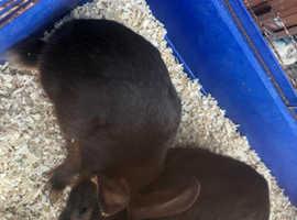 Tan baby rabbits