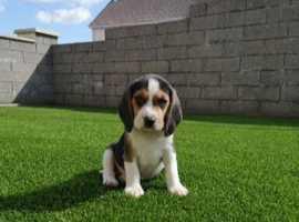 Show type beagle puppies