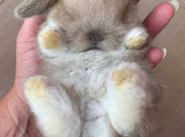 Stunning mini lop rabbit/bunny