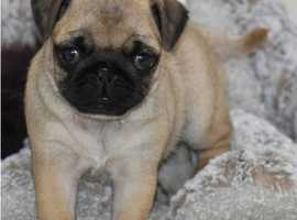 !!ready For Walks!! Pug Puppy For Sale