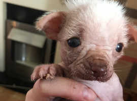 Cute & adorable Chinese crested hairless x babies