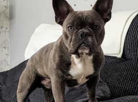 Beautiful male french bulldog x pug puppy forsale