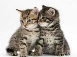 WANTED: Two young kittens (would love tabby or grey boys but not fussy)
