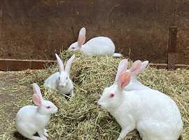 Belgian hare boys