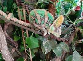 Male Veiled chameleon and full set up