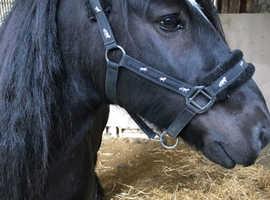 Dales X Cob pony