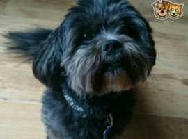 *GORGEOUS KC REG LHASA APSO FOR STUD*