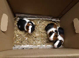Baby Guinea Pigs Available Now