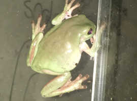Whites Tree Frog Pair (Low Snowflake)