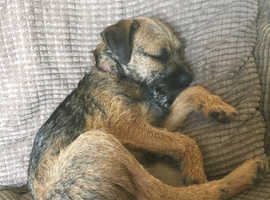 Border Terrier pup wanted