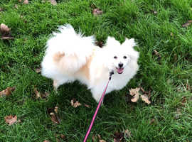 7 months Pure Pom for sale