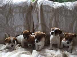 2020 Jan Jack Russell Terriers