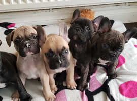 Beautiful Frenchie puppies for sale! £900