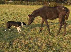Appaloosa Filly Foal