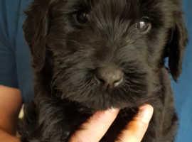Pedigree Giant Schnauzer Puppies for sale!!!