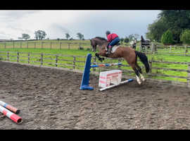 Absolutely gorgeous 18h Bay Gelding 5yrs old