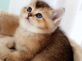 Rare Golden tipped chinchilla scottish fold kittens