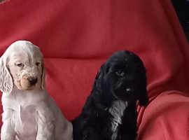 Fred & Bert Cocker Spaniel puppies