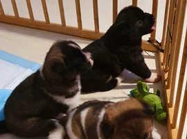 3 female American Akitas puppies