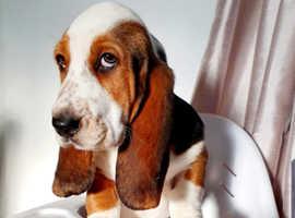 1 year old female basset hound