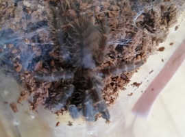 Hati Hati purple tarantula
