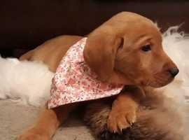 KC registered Fox Red Labrador pups