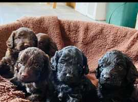 Extensively health tested F1 Cockapoo litter