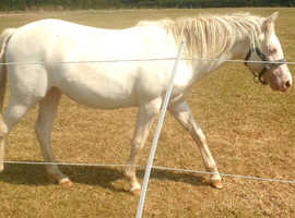 1 year gelding AQH Perlino