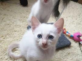 Cornish Rex Kittens For Sale!!