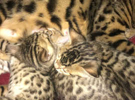STUNNING TICA REGISTERED BENGAL KITTENS