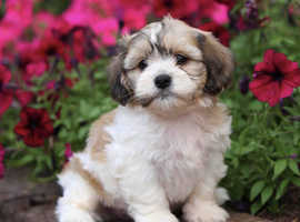 Wanted shihchon puppies