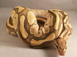 Butter Ghost Royal Python with set up