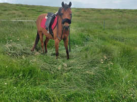 Welsh cross thourobred hacking or capanion 12.2 pony