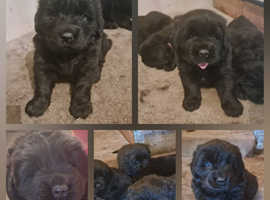 2 Female and 1 Male Newfoundland pups