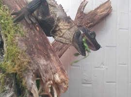 giant indonisain salefin dragons