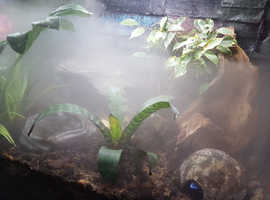 2 blue azures dart frogs and set up