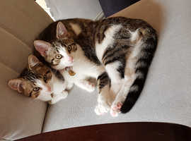2 Beautiful Female Aegean Cross Breed Cats