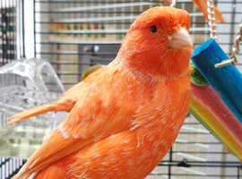 Canaries for sale,25