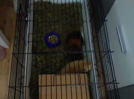2 male guinea pigs and indoor cage