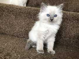 Ragdoll Kittens for sale - Please call
