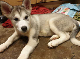 Last 2 remaining Siberian Husky puppies waiting for their forever home