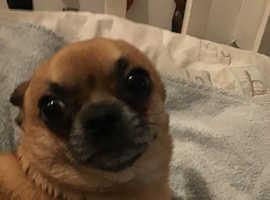 Pedigree Chihuahua dog