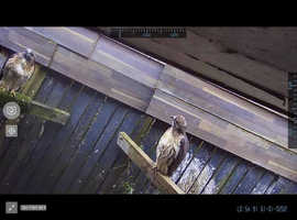 pair ov redtailed hawks