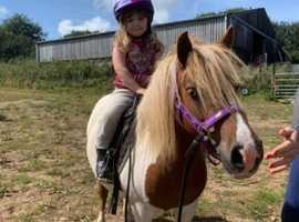 Gorgeous registered Shetland mare